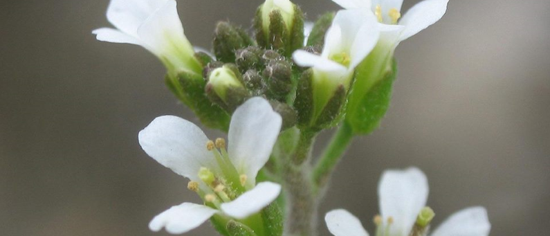 Extracto de arabidopsis